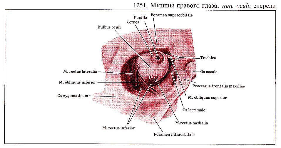 Капсула Тенонова фото