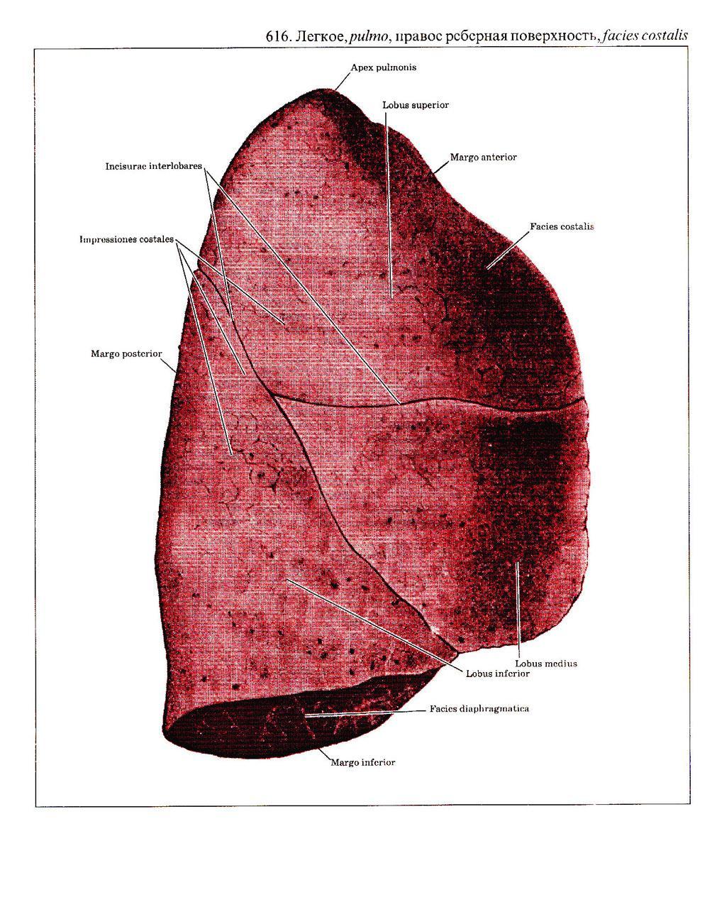Lung anatomy lingula