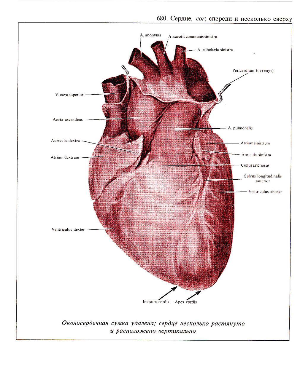 Conus Arteriosus                  - Health