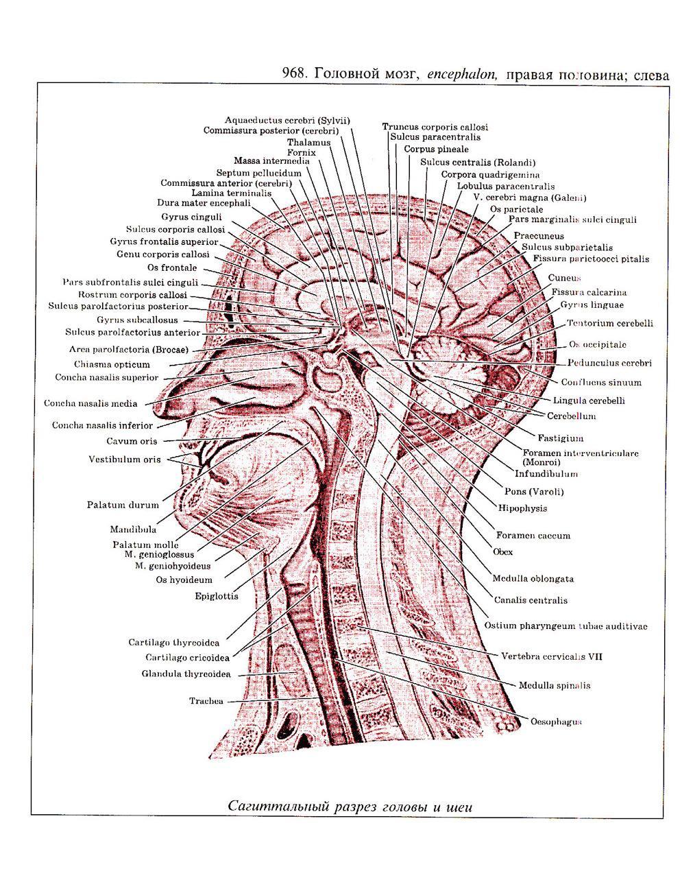 Atemberaubend Gyrus Cinguli Galerie - Anatomie Und Physiologie ...